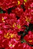 Jardim da tulipa em Showa Kinen KoenShowa Memorial Park, Tachikawa, Tóquio, Japão na mola Fotos de Stock Royalty Free