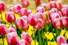 Jardim da tulipa em Showa Kinen KoenShowa Memorial Park, Tachikawa, Tóquio, Japão na mola Imagens de Stock Royalty Free