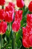 Jardim da tulipa em Showa Kinen KoenShowa Memorial Park, Tachikawa, Tóquio, Japão na mola Imagem de Stock Royalty Free