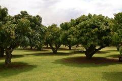 Jardim das árvores de manga imagem de stock