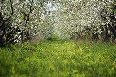 Jardim das Apple-árvores da flor na mola Dia ensolarado Fotografia de Stock