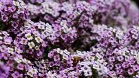Jardim das flores roxas e brancas imagens de stock