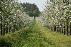 Jardim das maçã-árvores da flor na mola Dia ensolarado Imagens de Stock Royalty Free