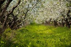 Jardim das maçã-árvores da flor na mola Dia ensolarado Foto de Stock Royalty Free