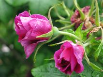 Jardim das rosas Foto de Stock Royalty Free