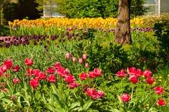 Jardim das tulipas Fotografia de Stock Royalty Free
