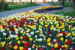 Jardim das tulipas Foto de Stock Royalty Free