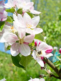 Jardim de Apple Imagem de Stock