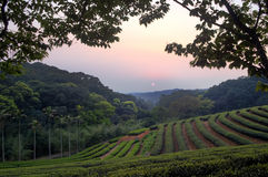 Jardim de chá imagem de stock
