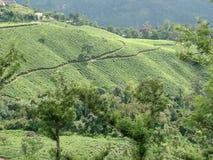 Jardim de chá fotos de stock royalty free