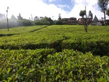 Jardim de chá bonito na Índia sul ooty Fotografia de Stock Royalty Free