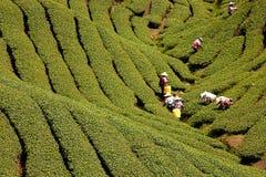 Jardim de chá de Gua dos vagabundos em Formosa Imagem de Stock