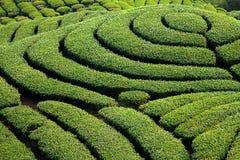Jardim de chá de Gua dos vagabundos em Formosa fotos de stock