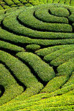 Jardim de chá de Gua dos vagabundos em Formosa foto de stock royalty free