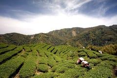 Jardim de chá de Gua dos vagabundos em Formosa imagem de stock royalty free