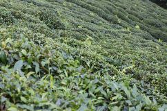 Jardim de chá em Rize Foto de Stock Royalty Free