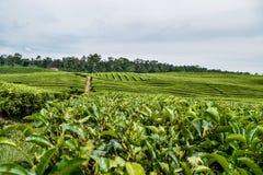 Jardim de chá em Sumatera norte Foto de Stock Royalty Free