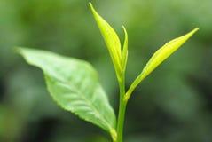 Jardim de chá em Sylhet, Bangladesh Foto de Stock Royalty Free