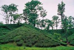 Jardim de chá em Sylhet, Bangladesh imagens de stock