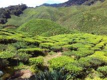 Jardim de chá no hHighland de Cameron Fotos de Stock