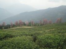 Jardim de chá orgânico Imagens de Stock