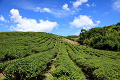 Jardim de chá, Taiwan Imagens de Stock