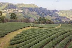 Jardim de chá verde imagens de stock royalty free
