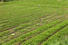 Jardim de chá Imagem de Stock Royalty Free