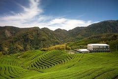 Jardim de chá de Gua dos vagabundos em Formosa Imagens de Stock Royalty Free