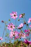Jardim de flor cor-de-rosa no tempo de verão Imagem de Stock
