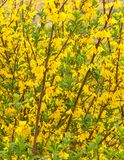 Jardim de flores amarelas Foto de Stock Royalty Free