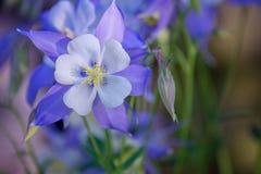 Jardim de flores aquilégias azuis imagens de stock royalty free