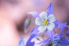 Jardim de flores aquilégias azuis foto de stock