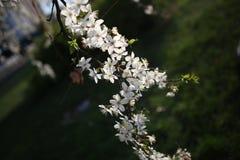 Jardim de flores brancas da mola das flores de cerejeira do ramo Foto de Stock Royalty Free