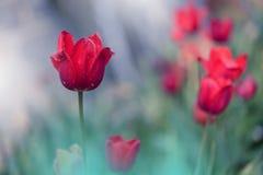 Jardim de flores da tulipa, bandeira da Web ou encabeçamento colorido Foto macro abstrata Fundo artístico Projeto da fantasia Pap imagens de stock royalty free