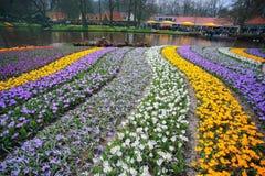 Jardim de flores do açafrão Fotografia de Stock Royalty Free