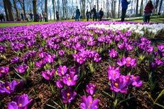 Jardim de flores do açafrão Fotos de Stock Royalty Free