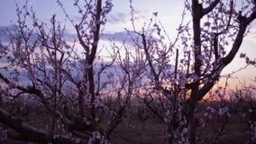 Jardim de florescência, árvores de abricó bonitas na flor no por do sol contra o céu video estoque