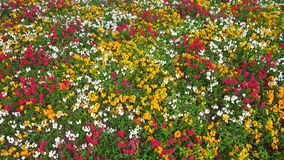 Jardim de florescência Fotografia de Stock Royalty Free