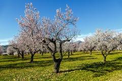 Jardim de florescência bonito da cereja-árvore no campo rural imagens de stock royalty free
