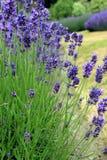 Jardim de florescência da alfazema imagens de stock royalty free