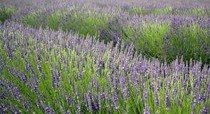 Jardim de florescência da alfazema foto de stock royalty free