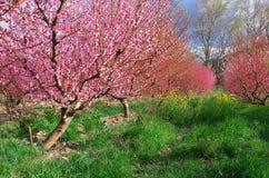 Jardim de florescência da mola do pomar Fotografia de Stock