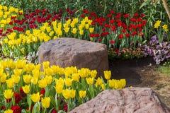 Jardim de florescência fresco das tulipas na primavera fotos de stock