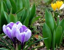Jardim de florescência roxo dos açafrões na primavera Imagem de Stock Royalty Free