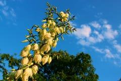 Jardim de Juka contra o céu no verão Fotografia de Stock