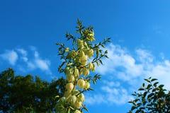 Jardim de Juka contra o céu no verão Fotos de Stock Royalty Free