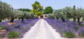 Jardim de Lavander Fotos de Stock Royalty Free