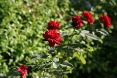 Jardim de rosas Fotos de Stock