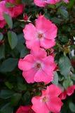 Jardim de rosas com os botões cor-de-rosa das rosas Fotografia de Stock